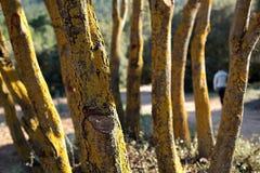 Stämme einer Gruppe grüner Eichen Stockfoto