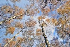 Stämme von Bäumen mit gelben Blättern gegen den blauen Himmel Stockfoto