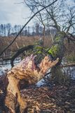 Stämme von den Bäumen beschädigt durch Biber Stockbilder
