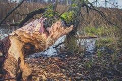 Stämme von den Bäumen beschädigt durch Biber Lizenzfreie Stockfotos