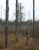 Stämme von drei Bäumen, viertes defektes stockfoto