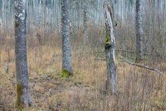 Stämme von drei Bäumen, viertes defektes stockbild