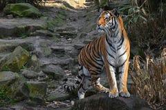 Stände des sibirischen Tigers alarmiert auf dem Steinfelsen Lizenzfreies Stockfoto