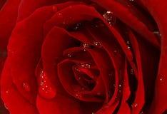 stäng rött rose övre Royaltyfria Bilder