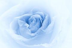 stäng rose som skjutas upp Royaltyfri Foto