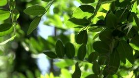 Stäng sig av akacia lämnar upp grön bakgrund med solen Natur friskhet lager videofilmer