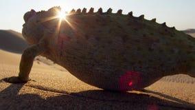 Stäng sig av en öken anpassade upp namaquensis för Namaqua kameleontChamaeleo i Namibia Afrika arkivfoton