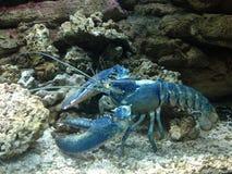 Stäng sig av en stor blå hummer med enorma tentakel bredvid vaggar upp och koraller i ett akvarium royaltyfri fotografi