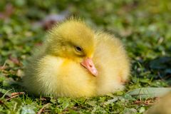 Stäng sig av ett härligt gult fluffigt behandla som ett barn upp gässlingen royaltyfria foton