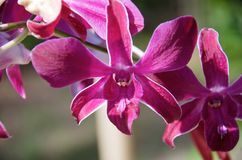 Stäng sig av purpurfärgade orkidér förgrena sig upp royaltyfria foton