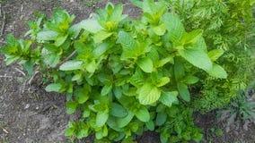 Stäng sig av växten för den nya mintkaramellen lämnar upp i en trädgård royaltyfria foton