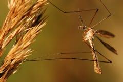 stäng sig cranefly upp Arkivfoto