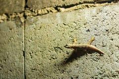 Stäng sig upp ödla på tegelstenväggen på natten abstrakt bakgrund royaltyfria foton