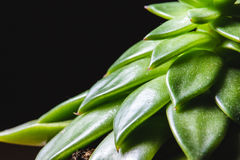 Stäng sig upp abstrakt begrepp av spetsiga sidor av en grön suckulent inomhus pl Arkivfoto