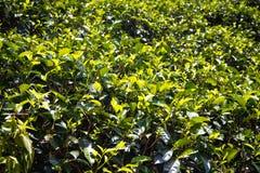 Stäng sig upp, abstrakt begrepp, textur av teväxter i högländerna av Sr Royaltyfria Bilder