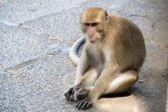 Stäng sig upp apan Lång-tailed macaquen som Krabba-äter macaquen, sitter golvet Fotografering för Bildbyråer