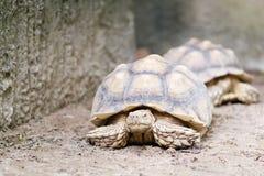 Stäng sig upp av AFRIKANEN SPORRAD SKÖLDPADDA & x28; Geochelonesulcata& x29; tortoi Royaltyfri Bild
