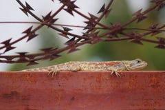 Stäng sig upp av agamaödla på porten för M etal med taggtråd arkivbild