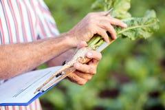 Stäng sig upp av agronom, eller bonden som mäter sockerbetan, rotar med en linjal och skrivadata in i frågeformuläret arkivfoto