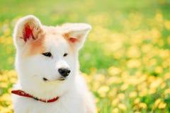 Stäng sig upp av Akita Dog eller Akita Inu, japan Akita Arkivfoton