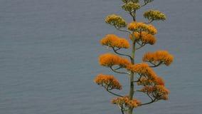 Stäng sig upp av att blomma agaveväxten med havet i bakgrunden arkivfilmer