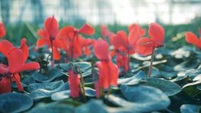 Stäng sig upp av att blomstra blommor med röda kronblad lager videofilmer