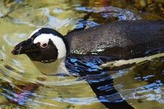 Stäng sig upp av att simma den afrikanska pingvinet arkivfoto