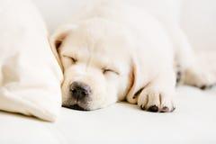 Stäng sig upp av att sova den labrador valpen på soffan royaltyfri foto