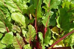 Stäng sig upp av betabladet som växer på den organiska fruktträdgården Royaltyfria Bilder