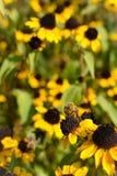 Stäng sig upp av biet som pollinerar den gula blomman Gula blommor och bin i bakgrund Foto som tas i trädgårdar i Rothenburg obde royaltyfri fotografi