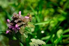 Stäng sig upp av biet som samlar pollen på den röda död-nässlan Royaltyfri Fotografi