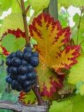 Stäng sig upp av blå vinranka av druvor och färgrika höstsidor under royaltyfria bilder