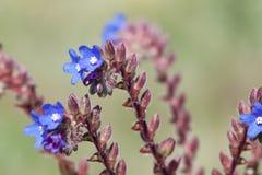 Stäng sig upp av blåa blommor Royaltyfri Fotografi