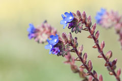 Stäng sig upp av blåa blommor Arkivbild