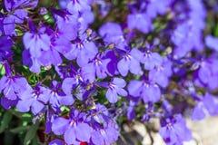 Stäng sig upp av blåa blommor Fotografering för Bildbyråer