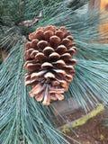 Stäng sig upp av brun grankotte sörjer på trädet royaltyfri fotografi