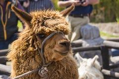 Stäng sig upp av brun lama eller alpacadjur Arkivbild