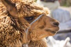 Stäng sig upp av brun lama eller alpacadjur Arkivfoto