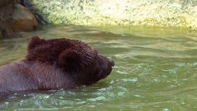 Stäng sig upp av brunbjörnen som badar i floden till förnyat Stor vuxen Ursus Arctos stock video