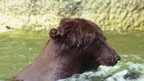 Stäng sig upp av brunbjörnen som badar i vattenfall till förnyat Vuxen Ursus Arctos lager videofilmer