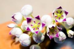 Stäng sig upp av calotropisgiganteaen, en grupp av purpurfärgade blommor royaltyfria bilder