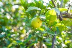 Stäng sig upp av citroner som hänger från ett träd i ett Lemon Grove Royaltyfria Bilder