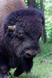 Stäng sig upp av de amerikanska buffelhuvud-materielet fotona Royaltyfria Bilder