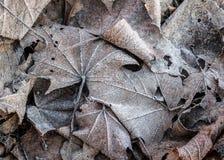 Stäng sig upp av den djupfrysta rimfrostlönnlövet bland frostigt gräs, blad arkivfoton