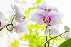 Stäng sig upp av den färgrika och eleganta orkidéblomman med naturlig baksida Arkivbild