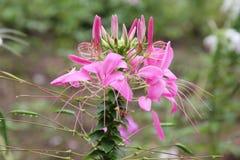 Stäng sig upp av den färgrika spindelblomman, eller rosa färger gör till drottning arkivfoton