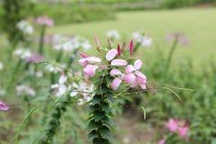 Stäng sig upp av den färgrika spindelblomman, eller rosa färger gör till drottning royaltyfri foto