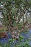 Stäng sig upp av den gamla knotiga trädstammen och färgglade blommor i gränsyttersida den walled trädgården på det Eastcote huset arkivfoton