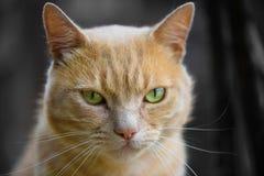 Stäng sig upp av den Ginger Purebred katten arkivbilder