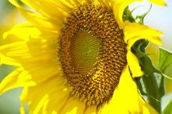 Stäng sig upp av den gula solrosen Royaltyfri Bild